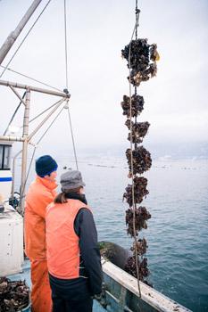 陸前高田広田湾産の一本松牡蠣の水揚げ作業