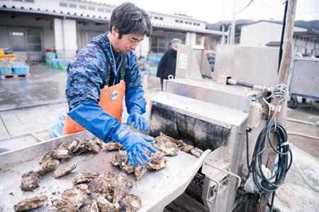 陸前高田広田湾産の一本松牡蠣の洗浄作業