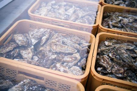 陸前高田広田湾産の一本松牡蠣の選別作業