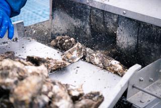 牡蠣を高圧洗浄している様子
