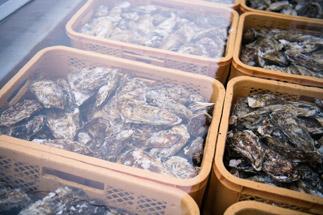 牡蠣を滅菌海水で殺菌・浄化